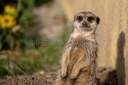 meerkat in freier wildbahn