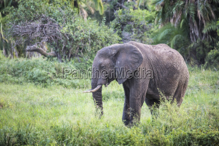 african elephant in the tarangire national