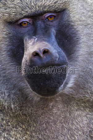 head view of anubus baboon in