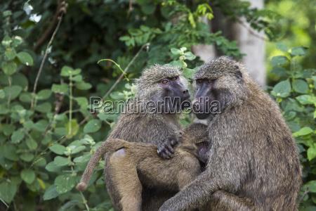 baboon tarangire national park