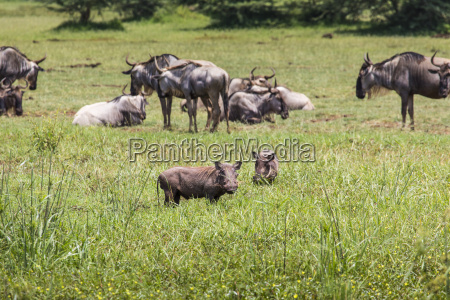 warthogs near a water hole in