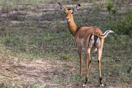 young female impala antelope tarangire national