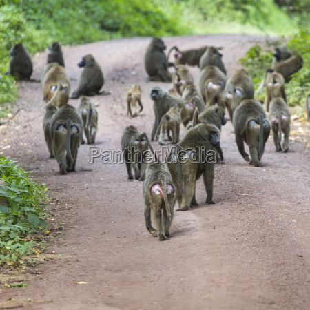 group of baboon monkeys in african