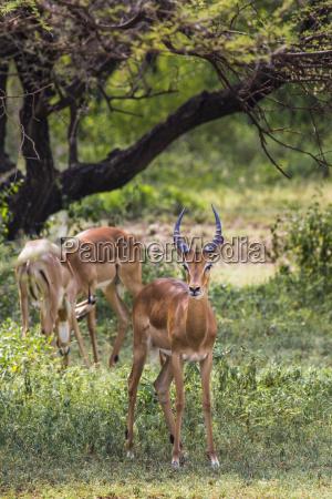a herd of male impala aepyceros
