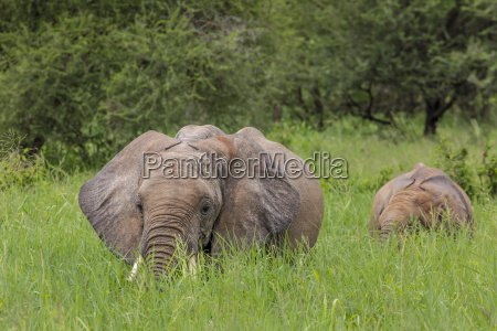 mother and baby african elephants walking