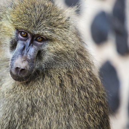 head, view, of, anubus, baboon, in - 21324640