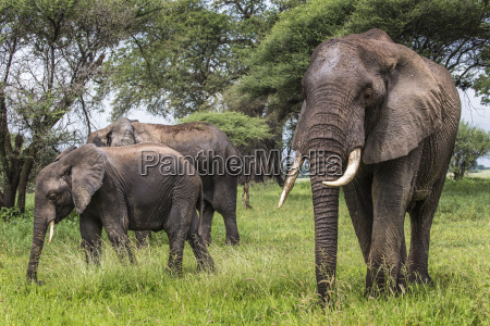 african elephants walking in savannah in