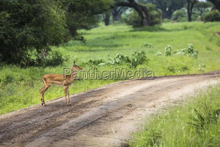female impala with young impala tarangire
