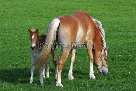 ein haflinger pferd mit einem fohlen
