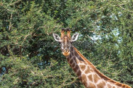 tier saeugetier wild afrika lang lange