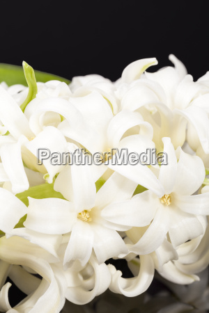 spring flower white hyacinth isolated on