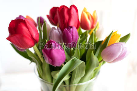 colorful tulips with white background