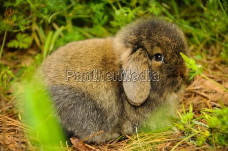 braunes kaninchen mit ohren down