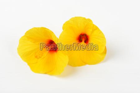 gelber hibiskus blueht