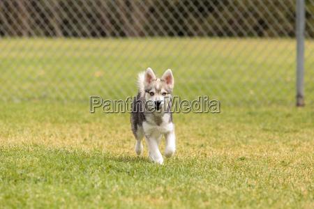 hund welpe mischen eckzahn schlittenhund huendchen