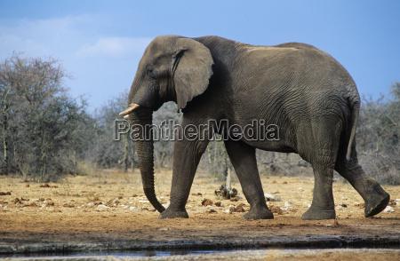 afrikanischer elefant loxodonta africana zu fuss