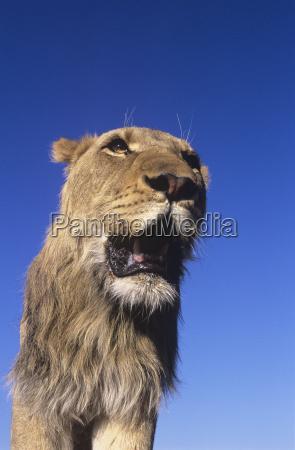 male lion against blue sky low