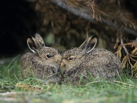 zwei junge hasen sitzen mit busch