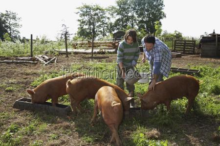 vater und sohn fuettern schweine in