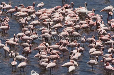 flock von flamingos gattung phoenicopterus in