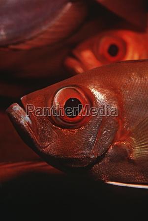 mosambik indischer ozean halbmondschwanz bigeyes priacanthus