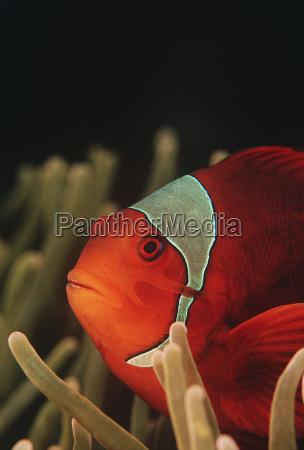 raja ampat indonesien pazifischer ozean spinecheek