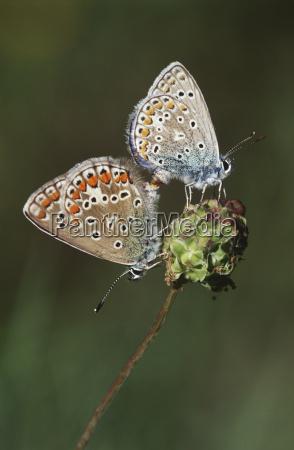 couple of gossamer winged butterflies on