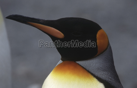 close up von koenig pinguin aptenodytes