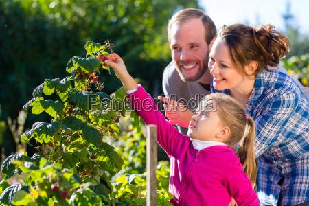family picking berries in garden