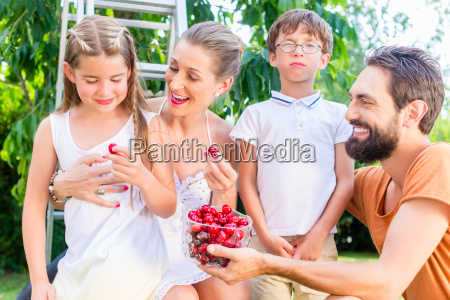 family harvesting and eating cherries in