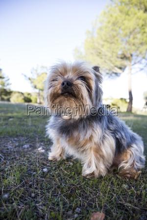 yorkshire terrier sitting on meadow looking