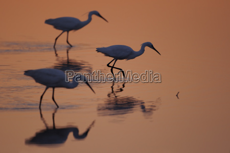 three foraging little egrets