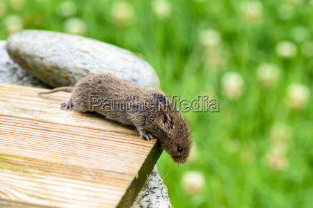 mouse on a wooden board in