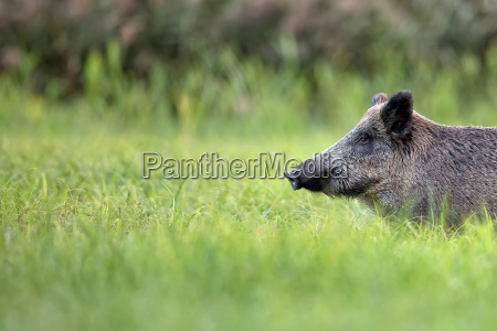 wild boar in the grass a