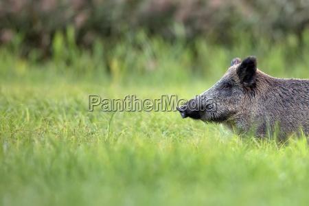 wildschwein im gras ein portraet