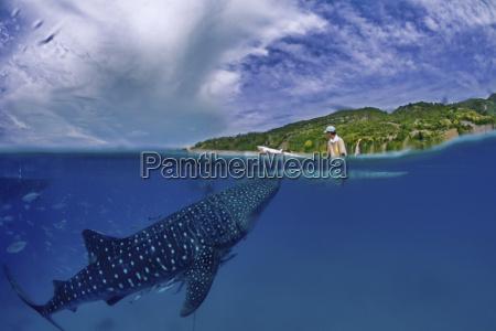 whale shark swimming in sea below
