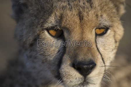 close up of cheetah looking away