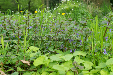 meadow with blue flowering ground ivy