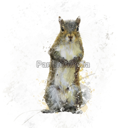 american gray squirrel watercolor
