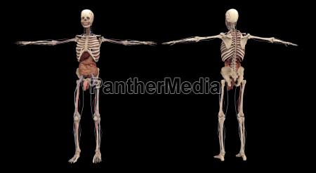 medizinisches medizinischer medizinische medizinisch illustration anatomie