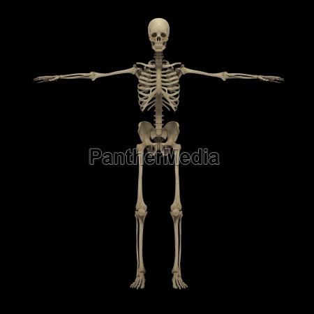 3d rendering of human skeletal system