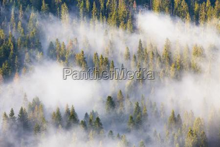 majestaet der natur vernebeln den nadelwald