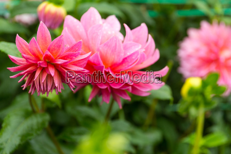 pink chrysanthemums garden