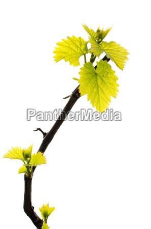 fresh green grape leaf isolated