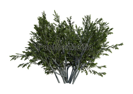 3d rendering creosot bush auf weiss