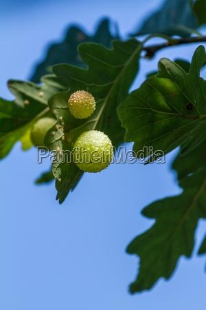 gall on a oak leaf