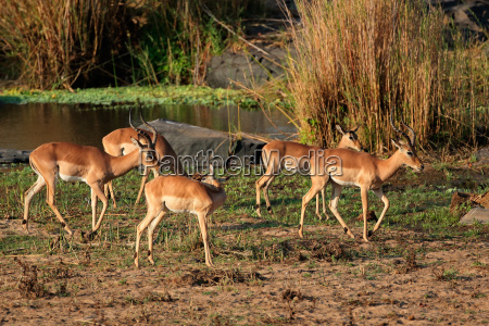 impala antelope herd
