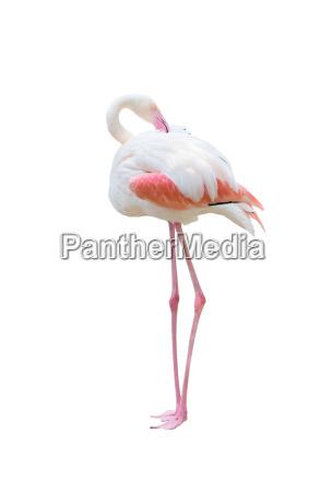 groesserer flamingo isoliert auf weissem hintergrund