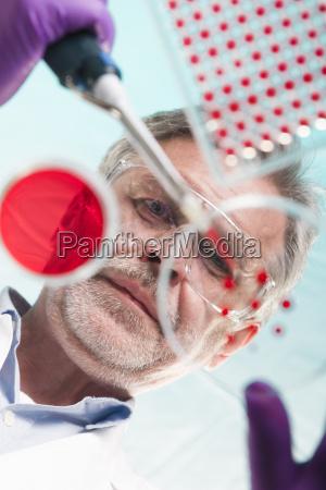 senior life science researcher grafting bacteria