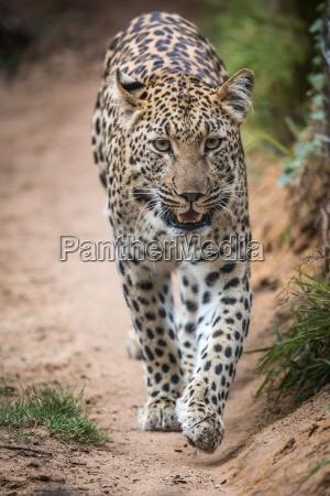 herrliche leopard grosse katze